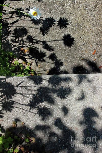 Photograph - Shadow Daisies by Karen Adams