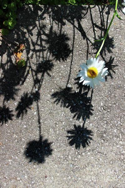 Photograph - Shadow Daisy by Karen Adams