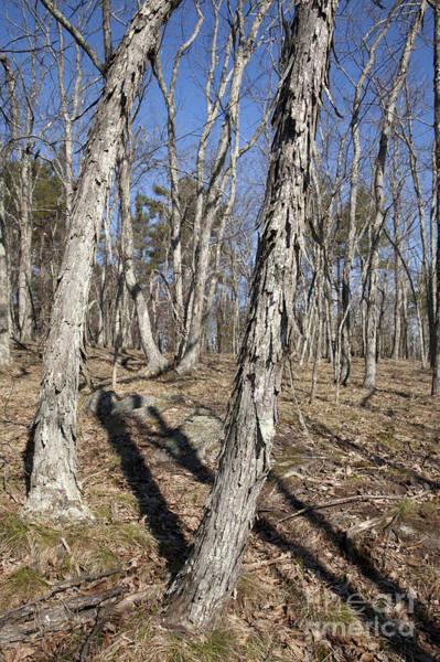 Photograph - Shagbark Hickory Forest  by Erin Paul Donovan