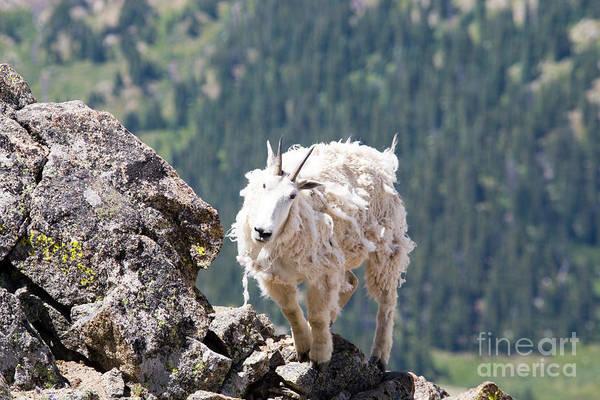 Photograph - Shaggy Goat On Mount Massive Summit by Steve Krull