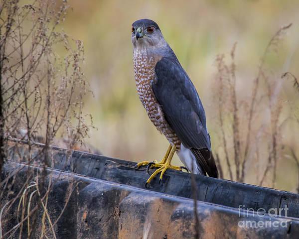 Photograph - Shakerag Coopers Hawk by Barbara Bowen