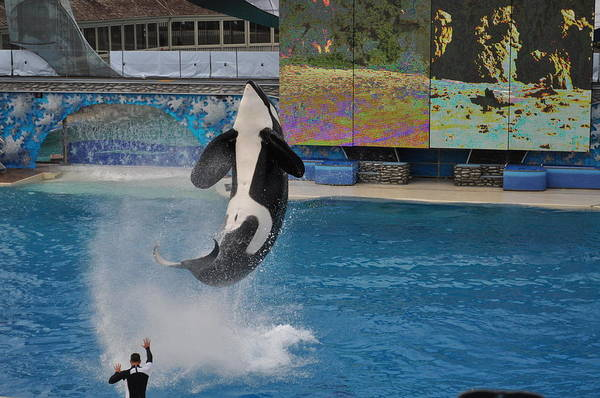 Photograph - Shamu Splash by Bridgette Gomes