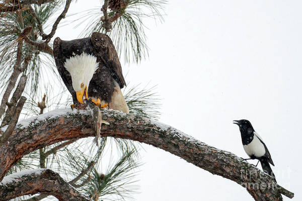 Fish Eagle Photograph - Share The Wealth by Mike Dawson