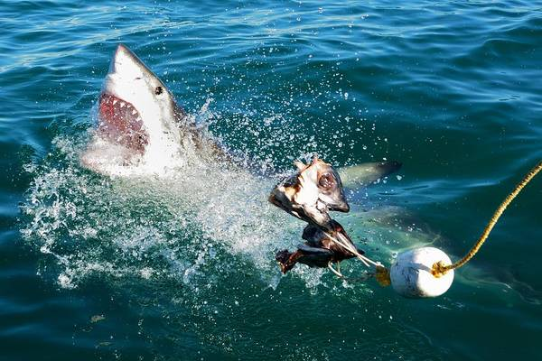 Bait Wall Art - Photograph - Shark Attack by Andrea Cavallini