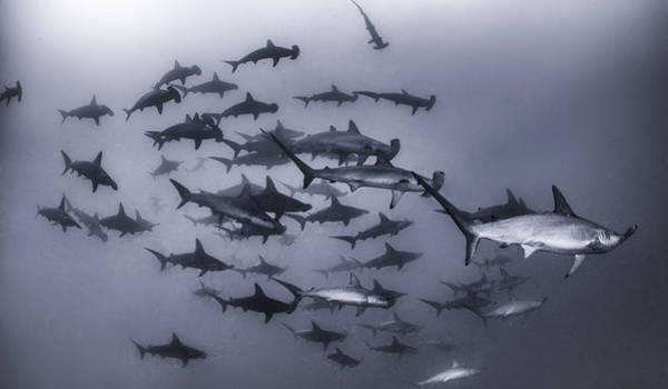 Hammer Head Shark Wall Art - Photograph - Shark Attack  by Rusty Childress