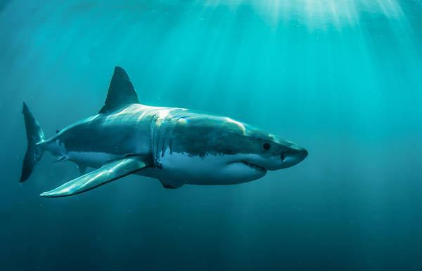 Digital Art - Shark by Maye Loeser