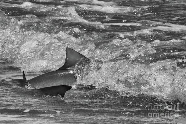 Photograph - Shark by Randy J Heath