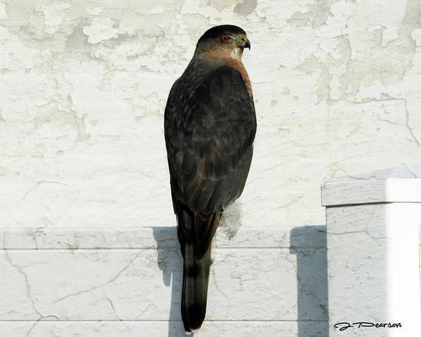Photograph - Sharp Shinned Hawk by Jackson Pearson