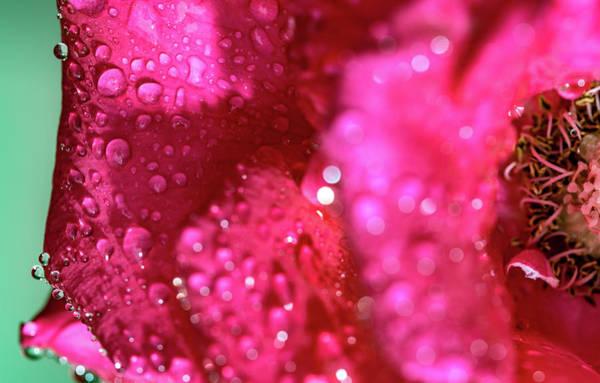 Sharp Wet Rose Art Print