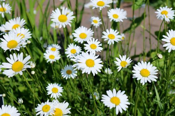 Photograph - Shasta Daisies  by Christy Pooschke
