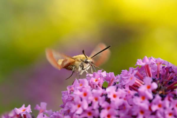 Hemaris Photograph - Like A Rainbow - Broad Bordered Bee Hawk-moth by Roeselien Raimond