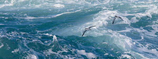Photograph - Shearwaters by Tony Mills