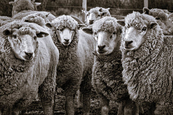 Photograph - Sheep #2 - Patagonia by Stuart Litoff