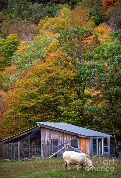 Photograph - Sheep And Foliage, Bethel, Maine #40206 by John Bald