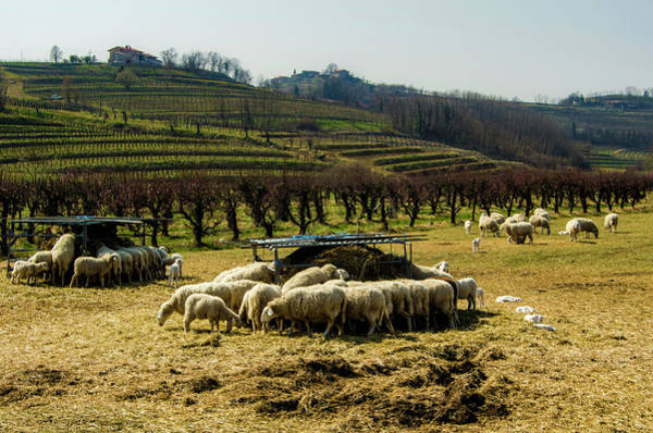 Photograph - Sheep And Wine by Wolfgang Stocker