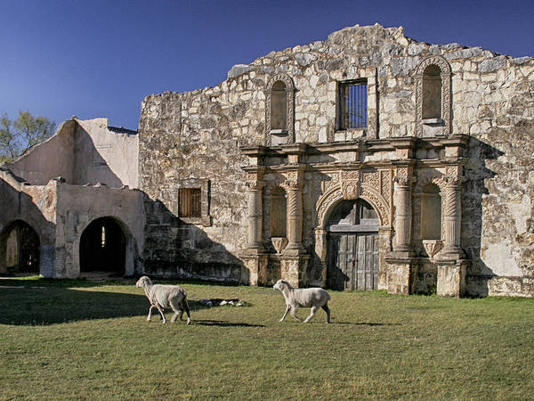 Photograph - Sheep At Alamo by Charles McKelroy