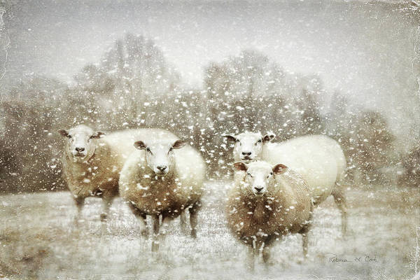 Photograph - Sheep Gathering In Snow by Bellesouth Studio