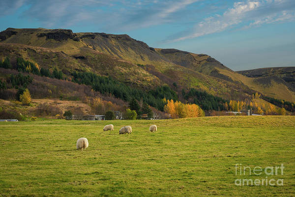 Live Stock Photograph - Sheep Go Bahhh  by Michael Ver Sprill