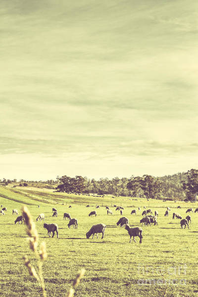 Ruminant Photograph - Sheep Grazing In Rustic Richmond by Jorgo Photography - Wall Art Gallery