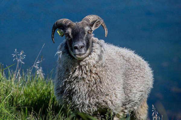 Ewe Photograph - Sheep Grazing On Fresh Herbs And Grass by Panoramic Images