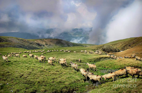 Sheep In Carphatian Mountains Art Print