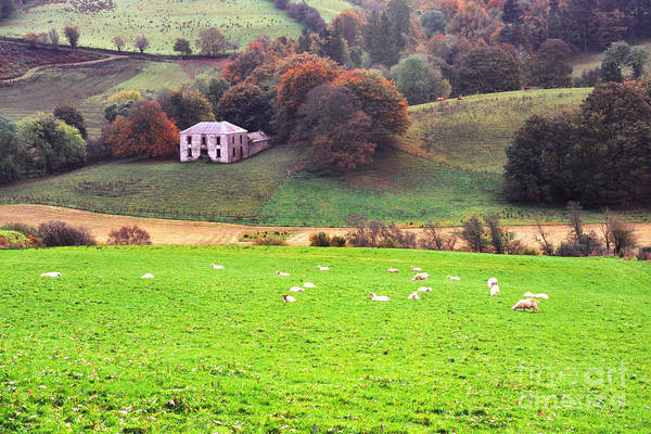 Photograph - Sheep In Green Field by Thomas R Fletcher