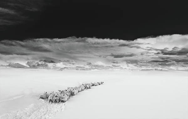 Photograph - Sheep In Snow On A Beautiful Day In  Alnmouth, Northumberland. by Maggie McCall