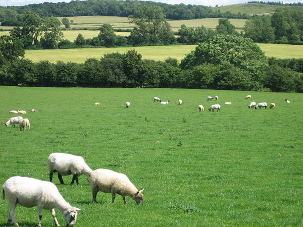 Photograph - Sheep In The English Countryside by Annette Hadley