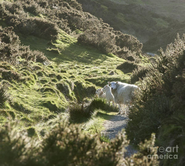 Church Stretton Photograph - Sheep In The Hills by Philip Pound