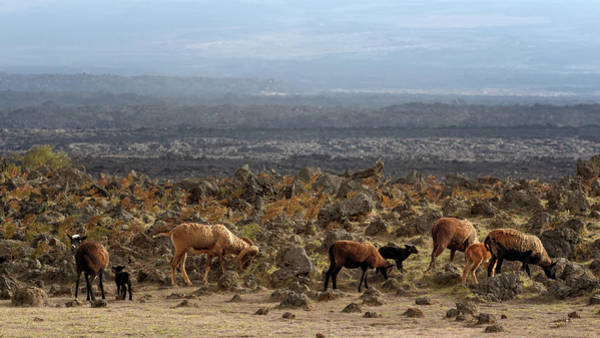 Photograph - Sheep In The Lava Fields by Susan Rissi Tregoning