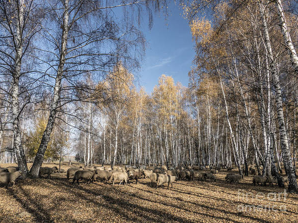 Photograph - Sheep On Field In Autumn  by Odon Czintos