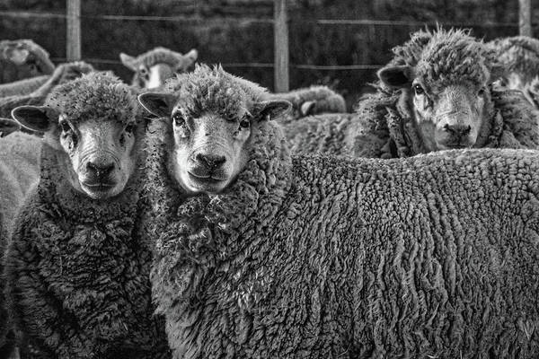Photograph - Sheep - Patagonia by Stuart Litoff