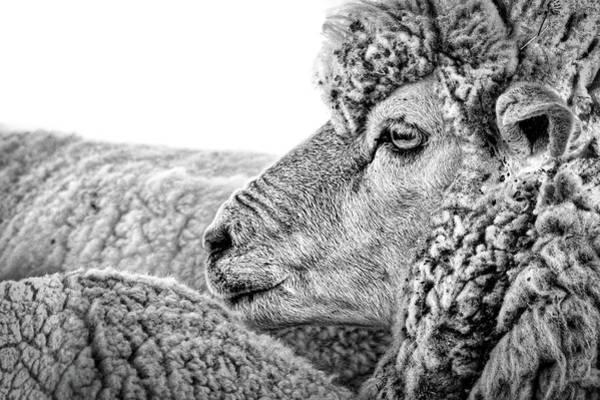 Photograph - Sheep Profile - Patagonia by Stuart Litoff