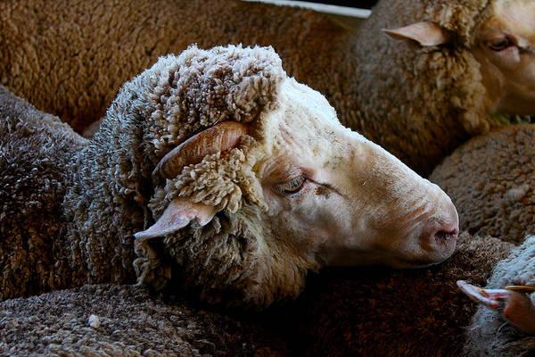 Photograph - Sheep Ready For The Shearing by Susan Vineyard