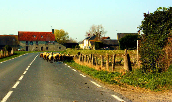 Photograph - Sheep Right Of Way by Susie Weaver