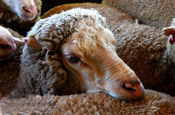 Sheep To Be Sheared Art Print