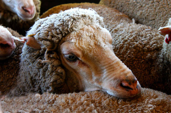 Photograph - Sheep To Be Sheared by Susan Vineyard