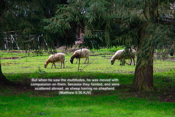 Photograph - Sheep With No Shepard by Tikvah's Hope