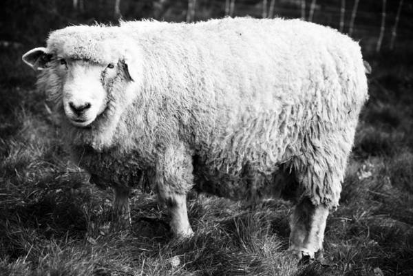 Wall Art - Photograph - Sheepish by Andrew Kubica