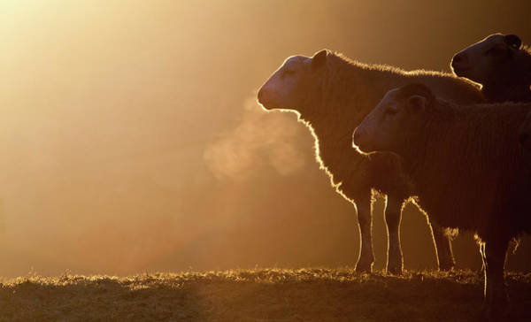 Sheep Wall Art - Photograph - Sheeps Breath by Peter Chadwick LRPS
