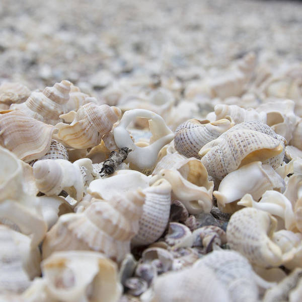 Photograph - Shells 1 by Jocelyn Friis