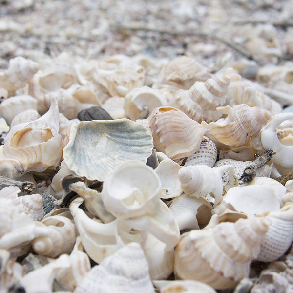 Photograph - Shells 2 by Jocelyn Friis