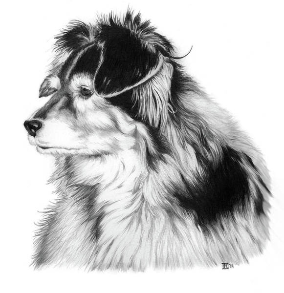Furry Drawing - Sheltie Mix by Chris Randall