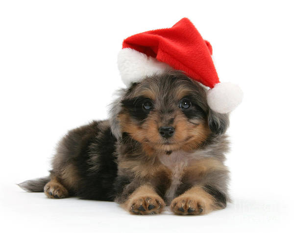 Photograph - Sheltiepoo Pup Wearing A Santa Hat by Warren Photographic