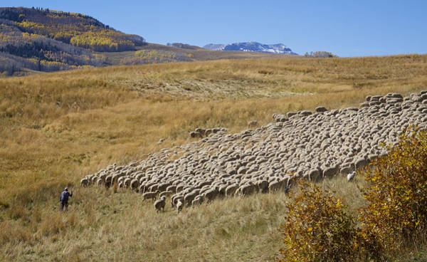 Photograph - Shepherd Moving The Flock - Telluride Colorado by Mary Lee Dereske
