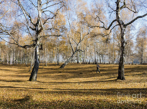 Photograph - Shepherd Walks With The Birch Forest by Odon Czintos