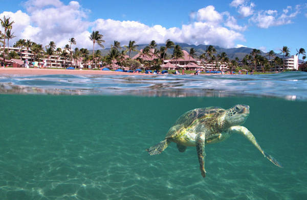 Turtle Photograph - Sheraton Maui by James Roemmling