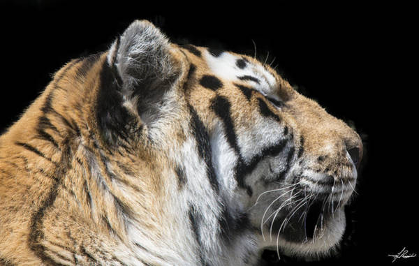 Photograph - Shere Khan by Philip Rispin