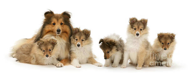 Photograph - Shetland Sheepdog Family by Warren Photographic