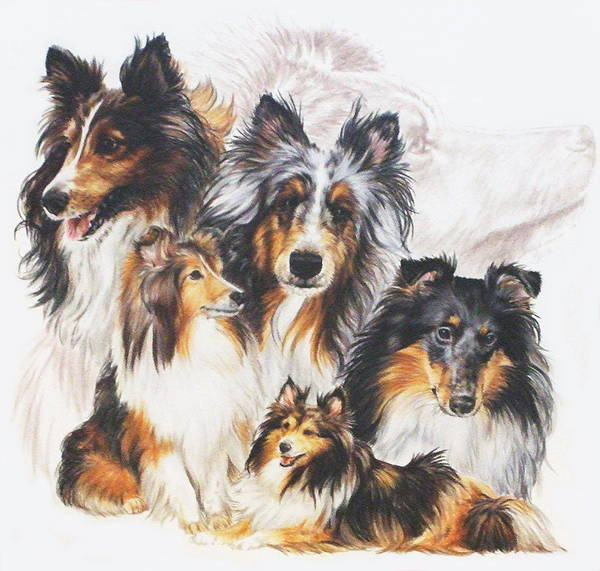 Mixed Media - Shetland Sheepdog Grouping by Barbara Keith